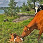 Ekholmen Lantbruk ko med kalv